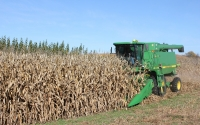 Corn harvest on the KBS LTER biofuels research experiment; Photo Credit: P.Jasrotia, Michigan State University