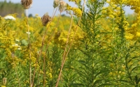 Goldenrod in a KBS LTER early successional field; Photo Credit: G.P. Robertson, Michigan State University