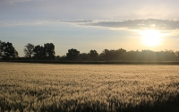 Morning view of wheat fields at the KBS LTER site; Photo Credit: J.E.Doll, Michigan State University