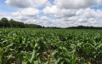 Corn field east of the KBS LTER; Photo credit: J.E.Doll, Michigan State University