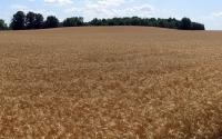 Midsummer wheat field near the KBS LTER; Photo Credit: G.P. Robertson, Michigan State University