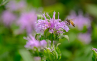 A honey bee nectaring on wild bergamot in the GLBRC / KBS LTER cellulosic biofuels research experiment; Photo Credit: Kurt Stepnitz