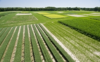 Aerial view of the GLBRC / KBS LTER cellulosic biofuels research experiment; in the foreground are first-year hybrid poplars interplanted with oats; Photo Credit: K.Stepnitz, Michigan State University