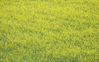 Canola, part of the KBS LTER biofuels research program; Photo Credit: K.Stepnitz, Michigan State University