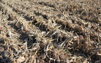 Corn field after harvest, with stover ready for collection as a biofuel feedstock at the GLBRC / KBS LTER biofuels research site; Photo Credit: J.E.Doll, Michigan State University