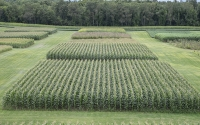 Corn on the KBS LTER/GLBRC biofuels experiment in late August; Photo Credit: K. Stepnitz, Michigan State University