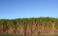 Miscanthus giganteus on the KBS LTER / GLBRC site in early October; Photo Credit: J.E. Doll, Michigan State University