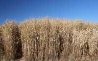 November view of Miscanthus giganteus, a cellulosic biofuel crop studied at the GLBRC / KBS LTER site; Photo Credit: J.E.Doll, Michigan State University