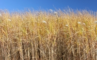 Senesced Miscanthus giganteus prior to harvest at the GLBRC / KBS LTER biofuel research site; Photo Credit: J.E.Doll, Michigan State University