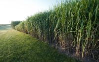 Miscanthus giganteus at the GLBRC / KBS LTER biofuels research site; Photo Credit: K.Stepnitz, Michigan State University