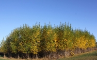 Hybrid poplar trees in early October on the KBS LTER / GLBRC biofuels experiment site; Photo Credit: J.E. Doll, Michigan State University