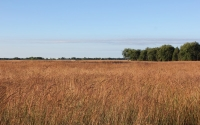 A September morning on the native grass fields of the KBS LTER / GLBRC biofuels experiment at Lux Arbor; Photo Credit: J.E. Doll, Michigan State University