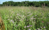 Native prairie plants for use as cellulosic biofuel at the GLBRC / KBS LTER site; Photo Credit: C. Baker, Michigan State University