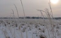 Winter view of native prairie plants (post-harvest) being studied as cellulosic biofuel crops at the KBS LTER; Photo Credit: K.Stepnitz, Michigan State University