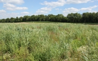 Native grasses being studied as a cellulosic biofuel crop at the GLBRC / KBS LTER site; Photo Credit: J.E.Doll, Michigan State University