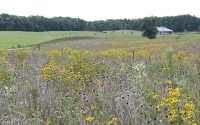 A field of native prairie plants in their second year being studied as cellulosic biofuel crops at the GLBRC / KBS LTER site; Photo Credit: K.Stepnitz, Michigan State University