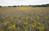 A field of native prairie plants in their second year after establishment being studied as cellulosic biofuel crops at the GLBRC / KBS LTER biofuel scale-up site; yellow flowers are mostly Black Eyed Susan (Rudbeckia); Photo Credit: K.Stepnitz, Michigan State University