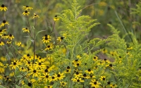 Goldenrod and black-eyed Susans grown in a native prairie field, part of the KBS LTER/GLBRC biofuels experiment; Photo Credit: K. Stepnitz, Michigan State University