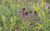 Purple cone flowers and goldenrod in native prairie fields, part of the KBS LTER/GLBRC biofuels experiment; Photo Credit: K. Stepnitz, Michigan State University