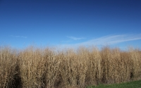 November view of switchgrass at the GLBRC / KBS LTER biofuels research site; Photo Credit: J.E.Doll, Michigan State University