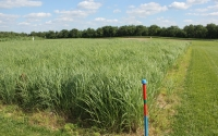 Early summer switchgrass, a cellulosic biofuel crop part of the GLBRC / KBS LTER biofuels research program; Photo Credit: J.E.Doll, Michigan State University
