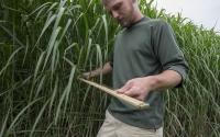 Field technician Matt Arndt measures Miscanthus on the KBS LTER/GLBRC biofuels experiment; Photo Credit: K. Stepnitz, Michigan State University
