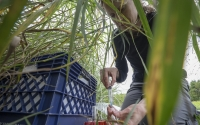 Research associate Sarah Roley takes gas samples in a switchgrass plot; Photo Credit: K. Stepnitz, Michigan State University