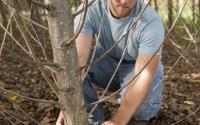 Field technician Josh Gower meaures the diameter of a hybrid poplar tree, part of the KBS LTER biofuels research program; Photo Credit: K.Stepnitz, Michigan State University