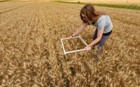 Alli Zahorec collecting data from wheat plots at the LTER MCSE