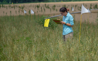 Lizz D'Auria collecting data on invertebrates caught in sticky traps in prairie strips at the LTER MCSE