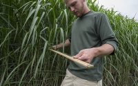 Field technician Matt Arndt measures Miscanthus on the KBS LTER/GLBRC biofuels experiment; Photo Credit: K. Stepnitz, Michigan State University