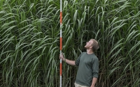 A field technician measures the height of Micanthus giganteus on the KBS LTER/GLBRC biofuels experiment; Photo Credit: K. Stepnitz, Michigan State University