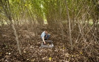 Field technician Josh Gower collects leaf litter samples from a hybrid poplar tree plot, part of the KBS LTER biofuels research program; Photo Credit: K.Stepnitz, Michigan State University