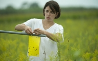 Field technician Lucy Carter checks insect sticky traps on the KBS LTER experiment; Photo Credit: K.Stepnitz, Michigan State University