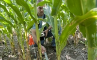 Field technician Josh Gower takes light meansurements in a corn field, part of the KBS LTER biofuels research program; Photo Credit: K.Stepnitz, Michigan State University