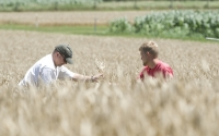 Researchers collect July wheat samples on the KBS LTER Main Cropping System Experiment; ; Photo Credit: K.Stepnitz, Michigan State University