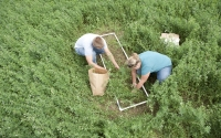 Field technicians Holly Warren and Josh Gower collect alfalfa samples, part of the KBS LTER Main Cropping System Experiment; Photo Credit: K.Stepnitz, Michigan State University