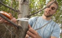 Field technician Josh Gower measures the diameter of a hybrid poplar tree in the GLBRC / KBS LTER biofuels experiment; Photo Credit: K.Stepnitz, Michigan State University