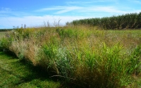 A prairie research plot, part of the KBS LTER Schoolyard biofuel experiment; Photo Credit: B. Krasean, Michigan State University