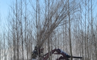 Harvesting hybrid poplar trees on the KBS LTER Main Cropping System Experiment; Photo Credit: A.Corbin, Michigan State University