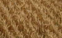 Wheat plants ready to be harvested on the KBS LTER site