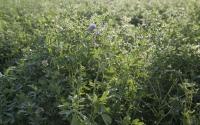 Alfalfa plants on the KBS LTER site; Photo Credit: K.Stepnitz, Michigan State University