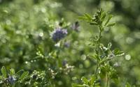 A close up view of alfalfa on the KBS LTER; Photo Credit: K.Stepnitz, Michigan State University