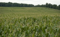 Corn fields in late August on the GLBRC / KBS LTER biofuels scale-up experiment; Photo Credit: K.Stepnitz, Michigan State University