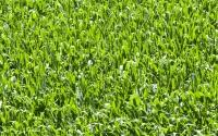 Corn plants in July on the KBS LTER; Photo Credit: K.Stepnitz, Michigan State University