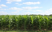 Corn in late June on the KBS LTER site; Photo Credit: J.E.Doll, Michigan State University