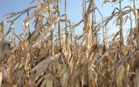 November corn ready to be harvested on the KBS LTER site; Photo Credit: J.E.Doll, Michigan State University
