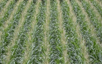 Corn on the KBS LTER/GLBRC biofuels experiment; Photo Credit: K. Stepnitz, Michigan State University