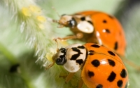 Ladybug beetles preying on soybean aphids, the greatest threat to soybean production in the United States; Photo Credit: K.Stepnitz, Michigan State University