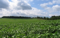 Soybean field in July at the GLBRC / KBS LTER biofuels research site; Photo Credit: J.E.Doll, Michigan State University